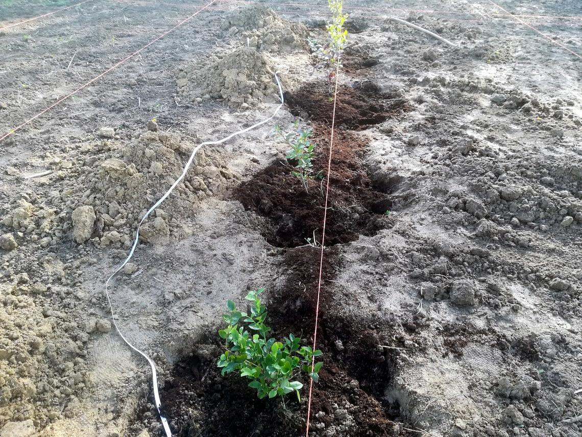 Sadzenie drzew i krzewów owocowych