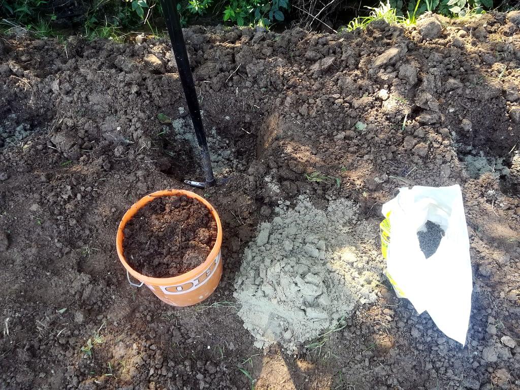 Sadzenie rabarbaru