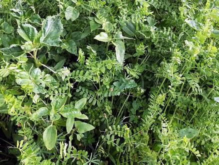 Rośliny na zielony nawóz